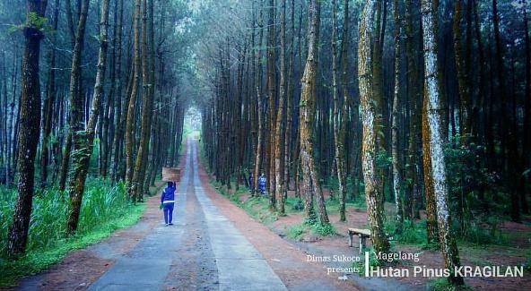 Hutan Pinus Magelang Wisata Top Selfie Pinusan Kragilan
